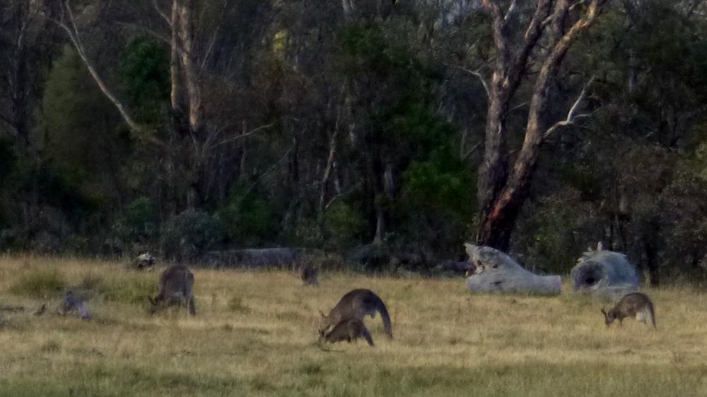 Kangaroos feeding on Mt Majura