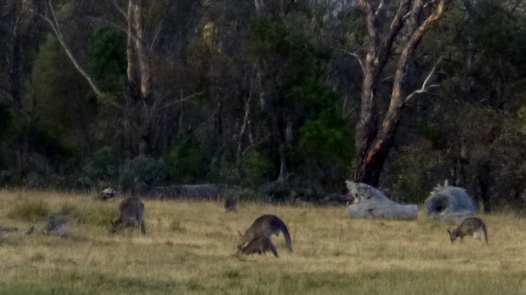 Kangaroos feeding on Mt Majura