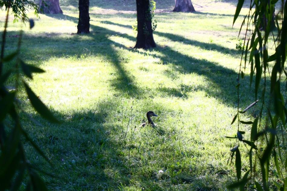 Telopea Park - Duck