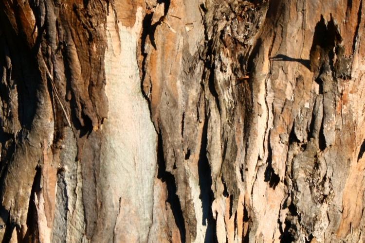 Telopea Park - Tree Bark