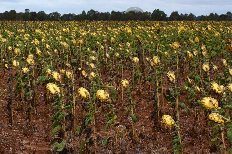 Spent Sunflowers