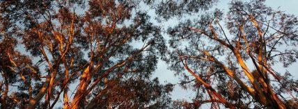 cropped-roadside-eucalypts.jpg