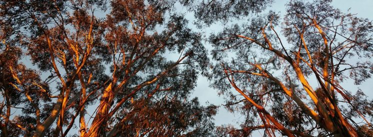 cropped-roadside-eucalypts.jpg