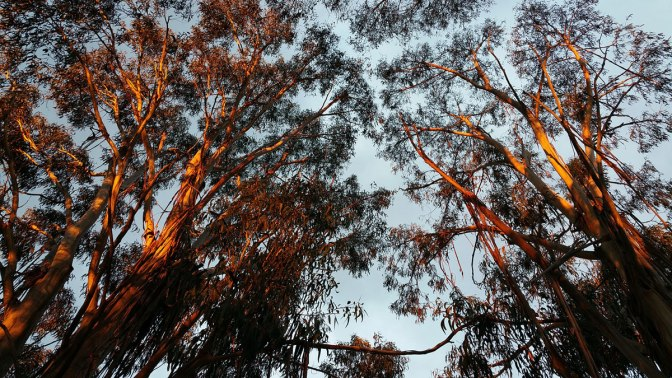 Roadside Eucalypts