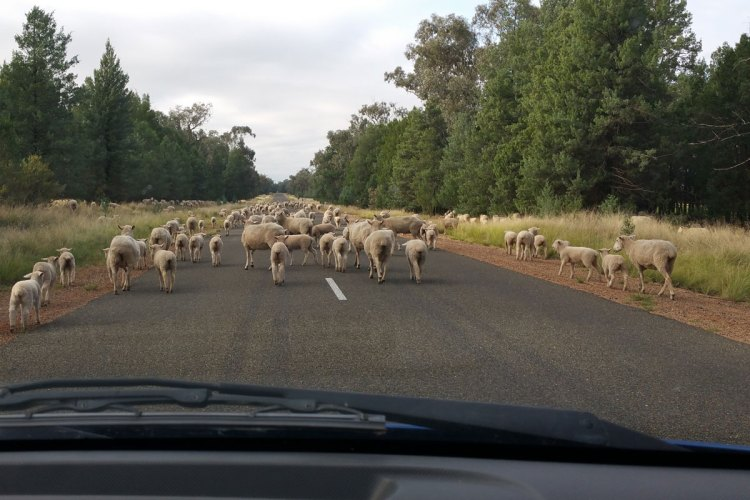 Sheep on the Eugowra Road