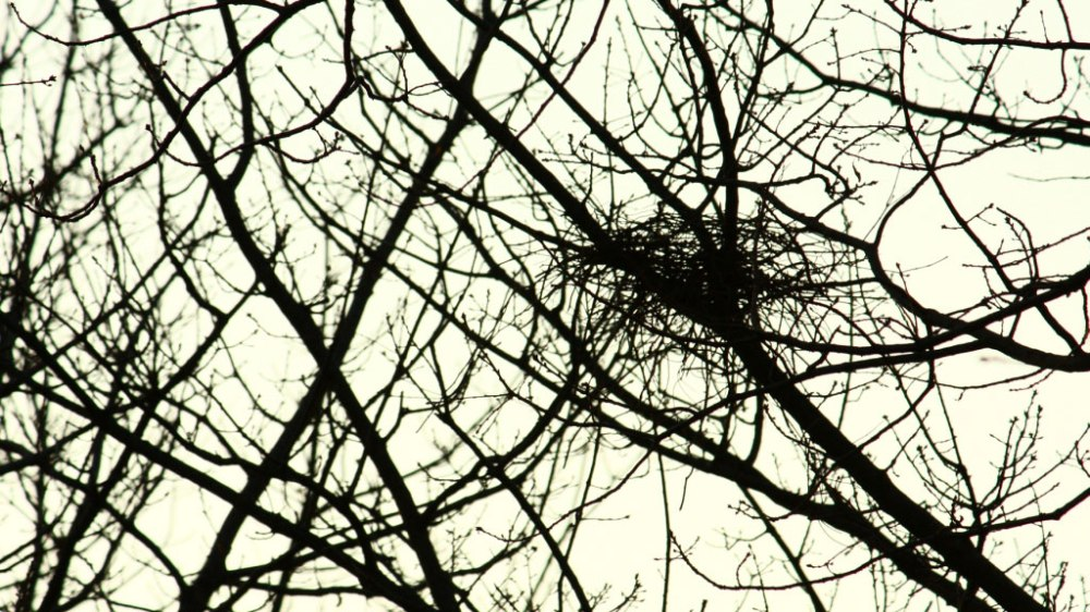 Magpie nest under construction