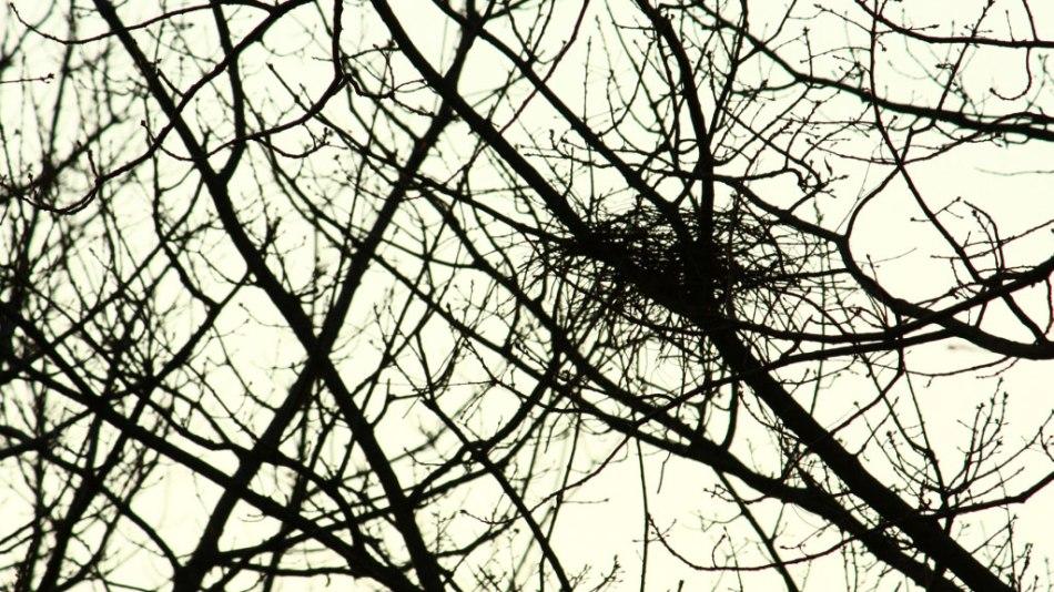 Magpie nest under construction