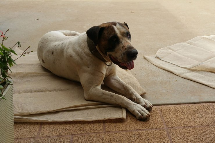 dog-on-shadecloth